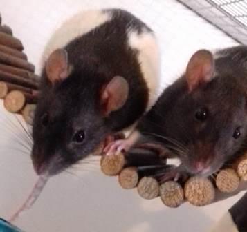 Ratten2